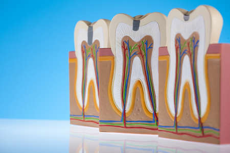 Tooth anatomy Stock Photo - 13503157