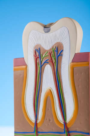 clean arteries:  Human tooth structure