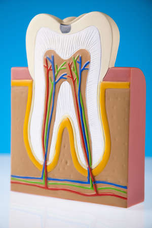 Tooth Stock Photo - 13502123