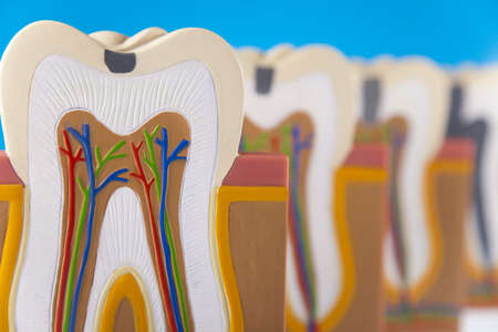 Tooth anatomy photo