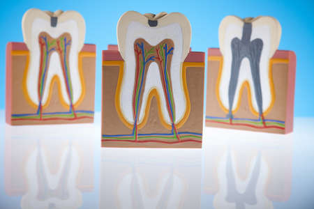 clean arteries: Anatomy of the tooth