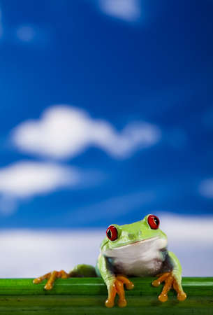 red frog: Red eye frog and blue sky