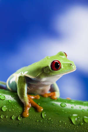 red eyed leaf frog: Green frog Stock Photo