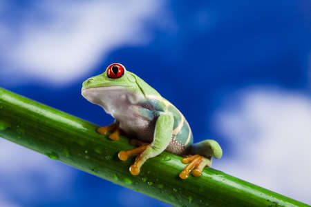 red eyed leaf frog: Frog, small animal red eyed
