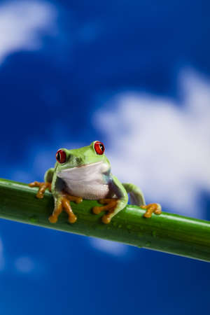 Frog, small animal red eyed photo