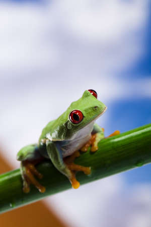 red eyed: Frog, small animal red eyed