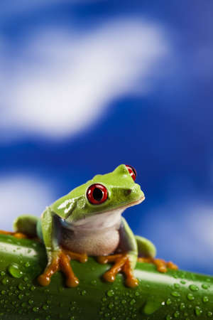 red eyed leaf frog: Red eye frog and blue sky