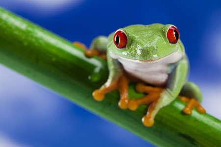 red eyed leaf frog: Frog and blue sky