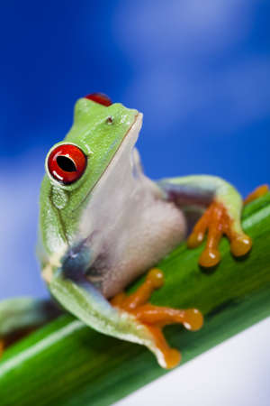red eye frog: Frog and blue sky