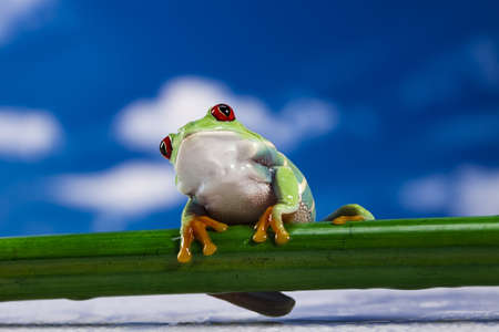 crazy frog: Red eyed tree frog