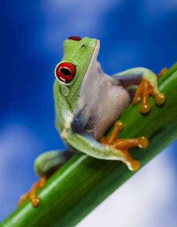 red frog: Tree frog  Stock Photo