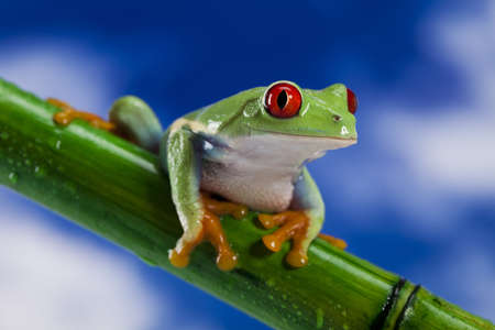 eye red: Frog, small animal red eyed