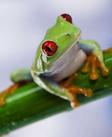 red eyed leaf frog: Tree frog  Stock Photo