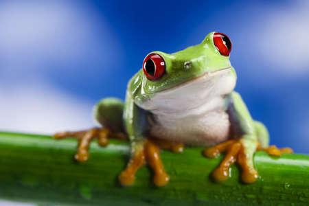 blue frog: La rana de ojos rojos y el cielo azul