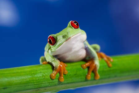 crazy frog: Red eye frog and blue sky