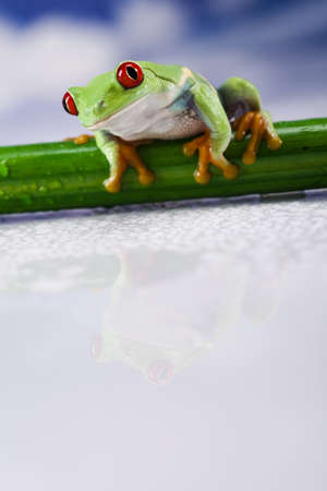 red eyed: Red eyed green tree frog