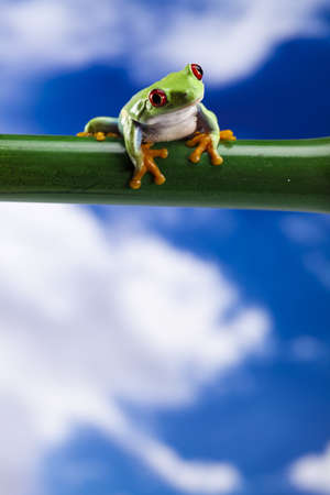 green tree frog: Red eyed green tree frog