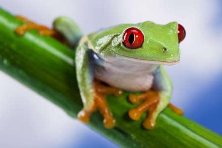 oeil rouge: Grenouille des yeux rouges et le ciel bleu