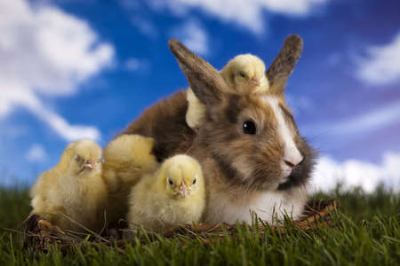 easter chick: Chick in bunny Stock Photo