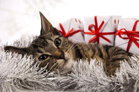 Christmas cat Stock Photo - 15129997