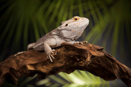 Root Bearded Dragon, Agama Lizard Stock Photo
