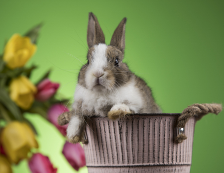 Rabbit and easter eggs, and tulip flower in green background