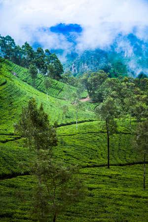 Sri lanka, Asia, Beautiful fresh green tea plantation Banque d'images