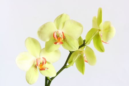 yellow beautiful orchid isolated on white background