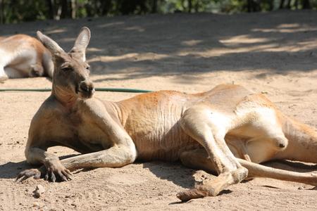Lazy kangaroo laying on a ground  photo