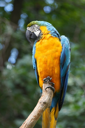blue and gold macaw parrot on a branch