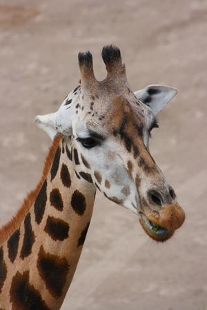 A portrait of an African giraffe Stock Photo