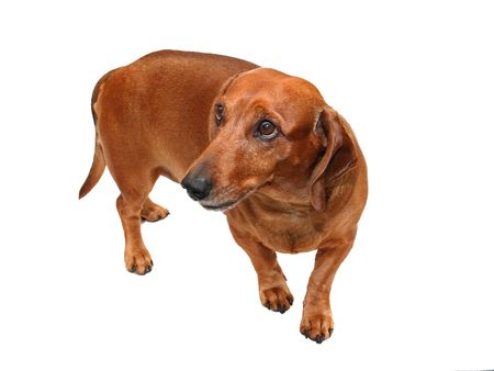 isolated brown dachshund on the white background