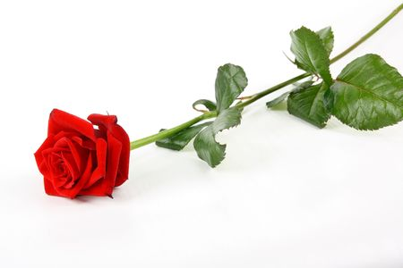 Single red rose laying on white background