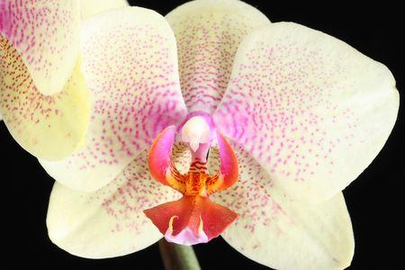 highkey: yellow beautiful orchid isolated on white background