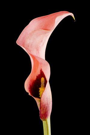 vibrant pink calla lili, isolated on black
