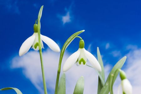 Macro of snowdrop flower blooms with blue cloudy sky