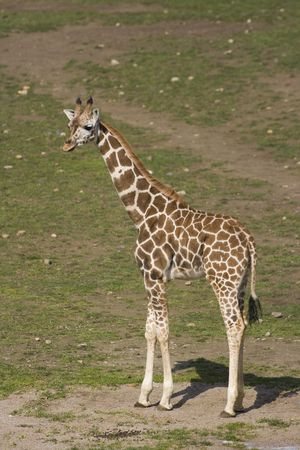 nostril: A little african giraffe standing on a ground