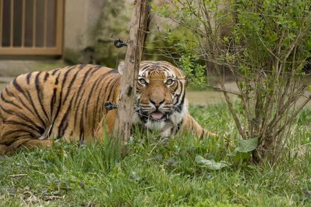 Huge tiger prowling for a prey photo