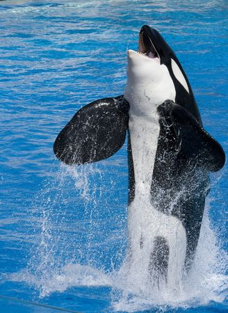 Killer Whale jumping out from water