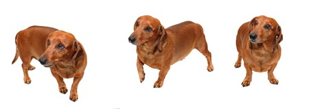 isolated brown dachshund on the white background image collection