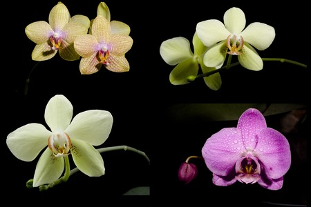 violet beautiful miltonopsis and  yellow phalaenopsis orchid collection Stock Photo - 4148117