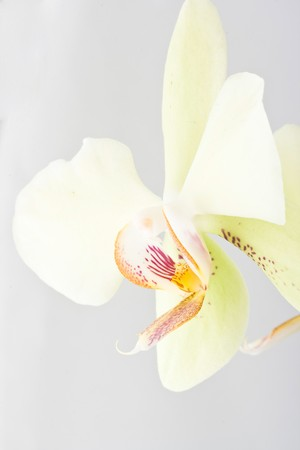 yellow beautiful orchid isolated on white background photo