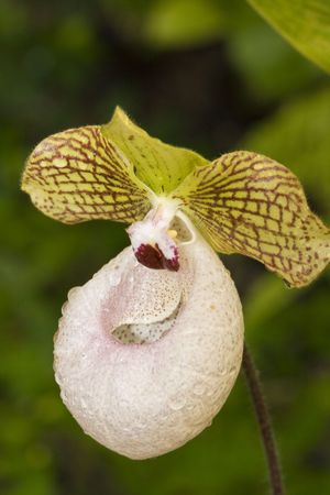 beautiful Cypripedium orchid photo