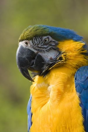 blue and gold macaw parrot head photo