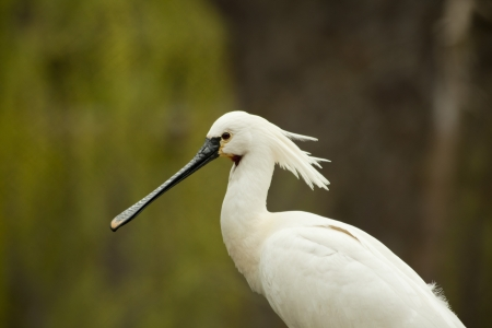 birdlife: A head of Eurasian (common) Spoonbill