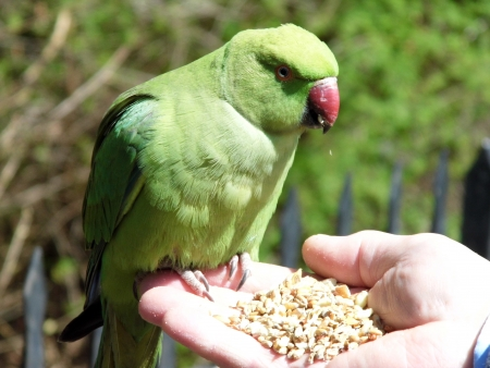 Green necked  parakeet photo