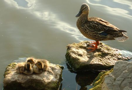 Mother Duck and Ducklings on the Rocks Imagens