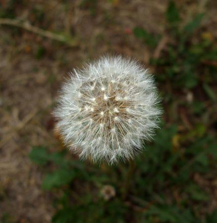 fluff: Diente de le�n Pelusas
