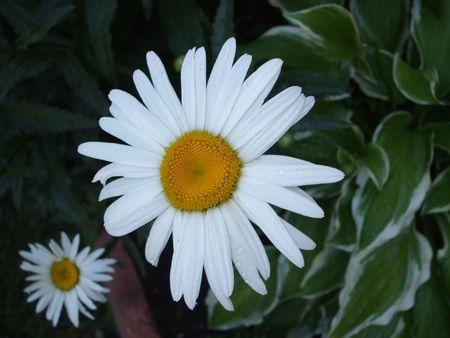 seeding: Daisies