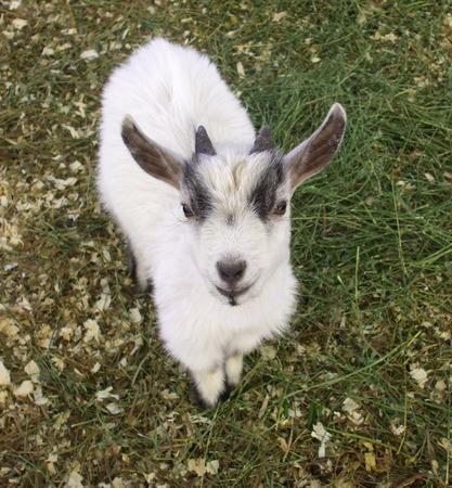 pygmy goat: Smiling Pygmy Goat Kid